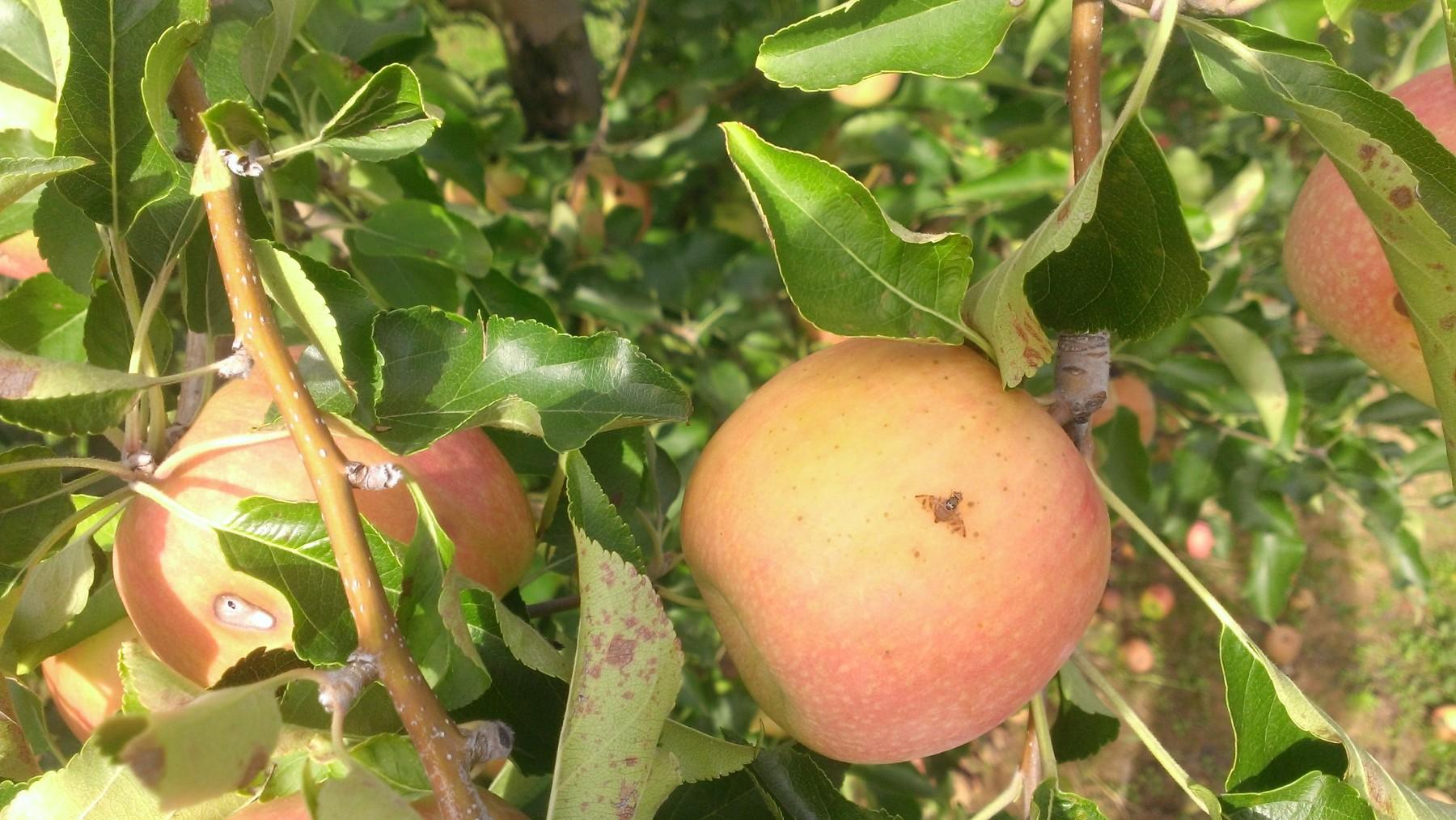 Cératite ou mouche méditerranéenne des fruits : ça vole !
