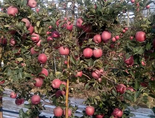 Pomme Crimson Snow, une nouvelle démarche club