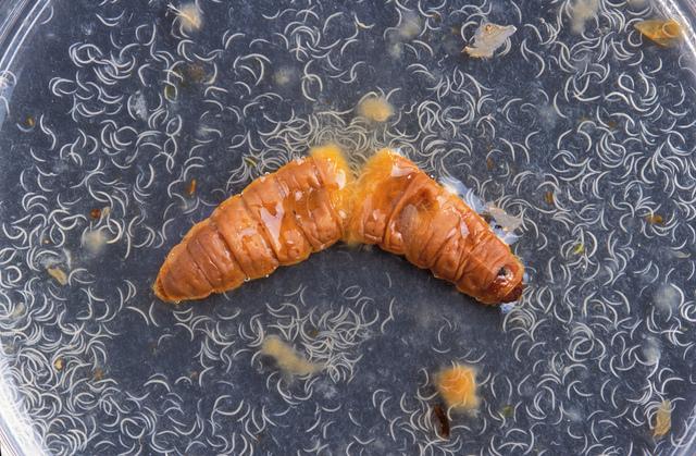 chenille-parasitee-nematodes
